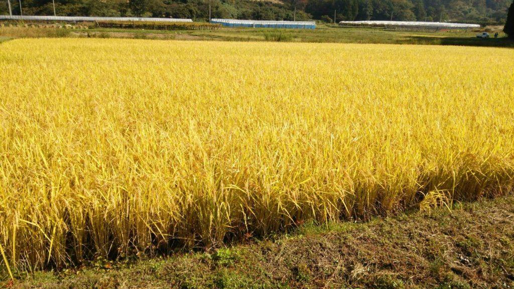 契約農家、充さんの田園で特A米 つや姫とコシヒカリを栽培しています